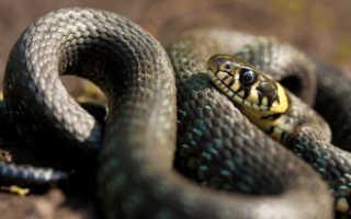 Как отличить ядовитую змею от неядовитой
