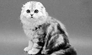 История шотландских вислоухих кошек: предок, генетика, признание