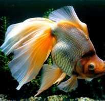 Рыбка вуалий хвост