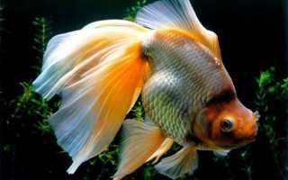 Рыбка вуалехвост уход и содержание