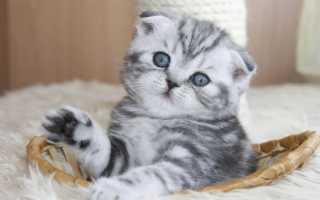Чем лучше кормить шотландского котенка
