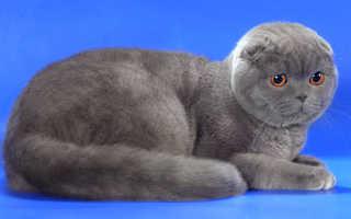 Происхождение вислоухих кошек