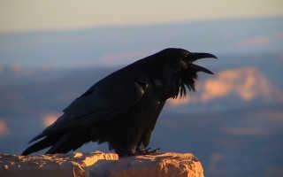 Картинки птиц ворона