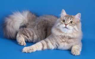 Шотландская длинношерстная кошка фото