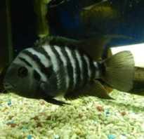 Рыба в полосочку