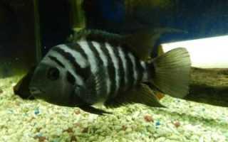 Полосатые рыбы аквариумные