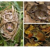 Виды лесных мышей