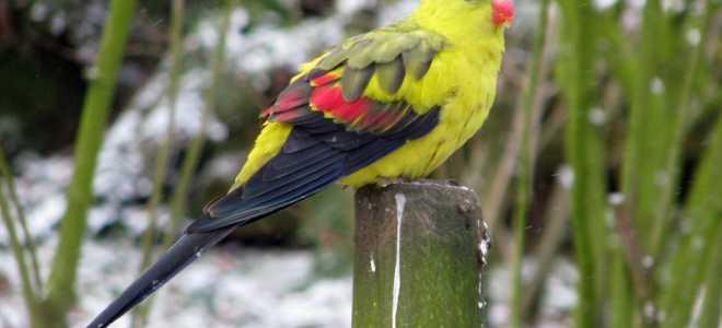 Горный австралийский попугай — уход и содержание
