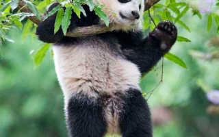 Панда красная книга краткий рассказ