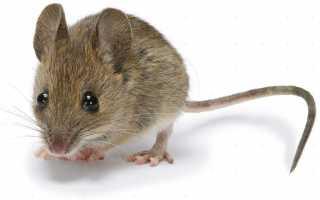 Отличие полевой мыши от домашней
