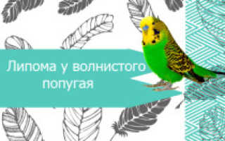 Липома у попугая: лечение и симптомы