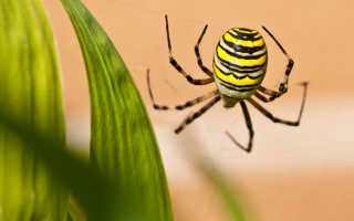 Осиный паук фото