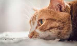 Кот или кошка плачет: умеют ли, могут ли, почему плачут и как