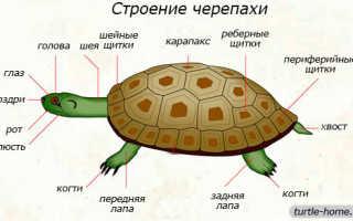 Черепаха строение тела