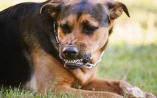 Бешенство у собаки: симптомы и профилактика