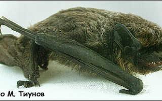 Летучая мышь размножение