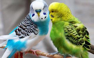 Как свести попугаев волнистых