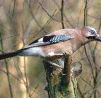 Сойка фото птица самец и самка
