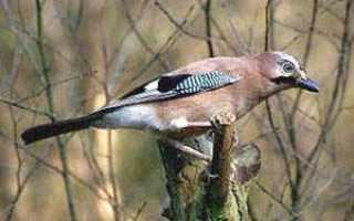Фото сойка птицы