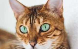 Бельгийская кошка описание породы