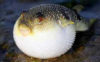 Колючая рыба которая надувается