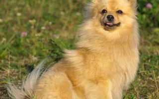 Порода собак немецкий шпиц фото