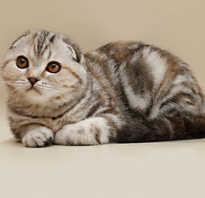 Какие бывают вислоухие кошки