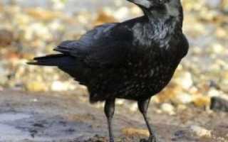 Как отличить черную ворону от ворона
