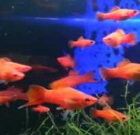 Черный меченосец аквариумная рыбка