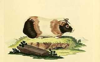 Горная свинка 4 буквы сканворд