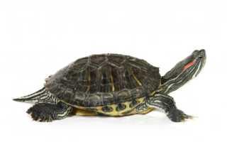 Черепахи в домашних условиях виды
