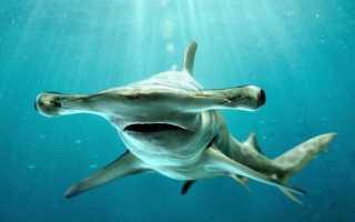 Рыба акула молот