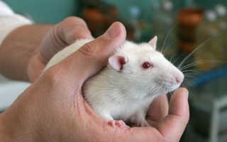 Опухоли у крыс в москве