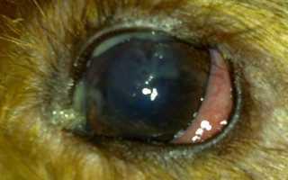 У щенка гноятся глаза чем лечить