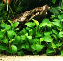 Анубиас содержание в аквариуме, виды, размножение, посадка, фото-видео обзор