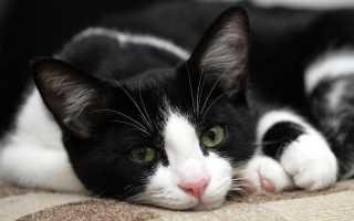 Порода кошек с черными лапками