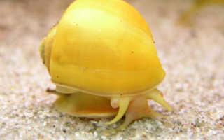 Польза аквариумных улиток