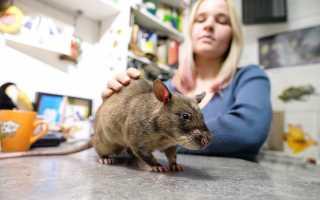 Большие жирные крысы