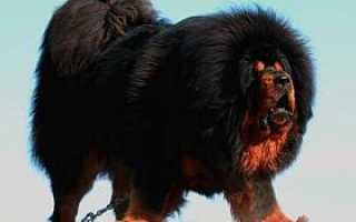 Тибетский мастиф уход