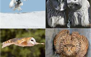 Белая сова с голубыми глазами