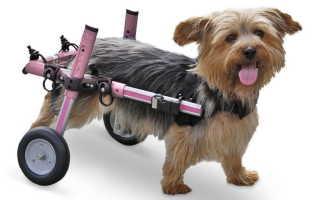 7 причин, почему у собаки отказывают задние ноги: лечение, что делать