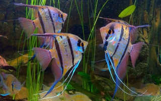 Скалярия ест других рыб
