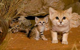 Смешной барханный кот, похожий на лису: 20+ фото, описание