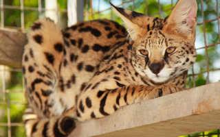 Африканский сервал: описание породы кошек, содержание и уход в домашних условиях