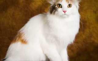 Американский керл: описание и окрасы представителей породы, содержание и уход, разведение кошек