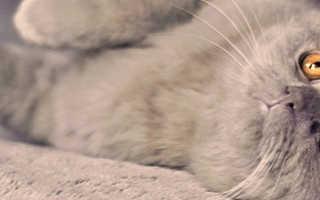 Скрестить вислоухого кота с вислоухой кошкой