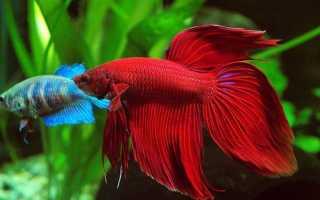 Рыба петушок в маленьком аквариуме