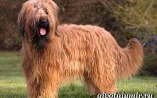 Описание породы собак Бриар с отзывами владельцев и фото