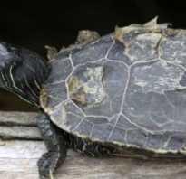 У черепахи шелушится панцирь