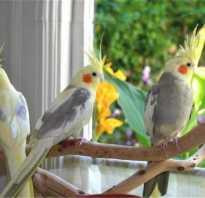 Приручение попугая корелла к рукам